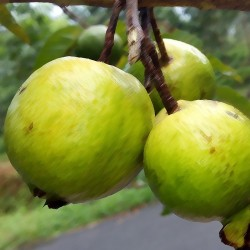 Lemon Guava Flavour...