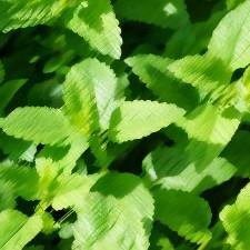 Garden Mint Flavouring
