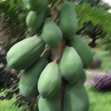 Papaya Flavouring